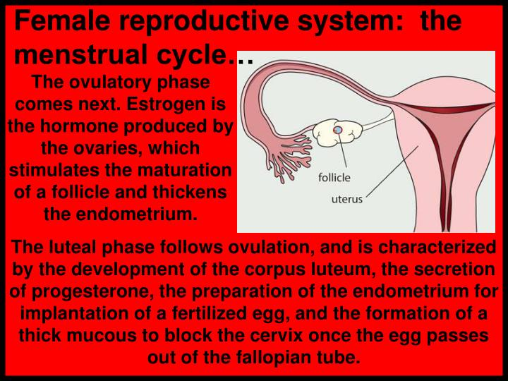 Female reproductive system:  the menstrual cycle…