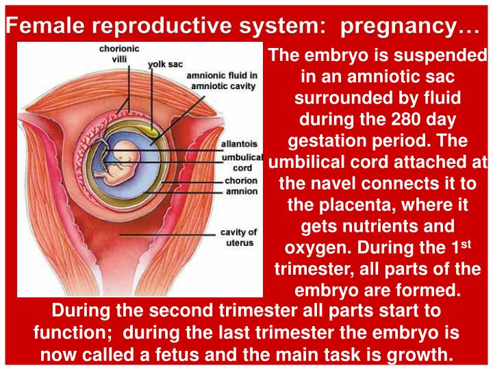 Female reproductive system:  pregnancy…