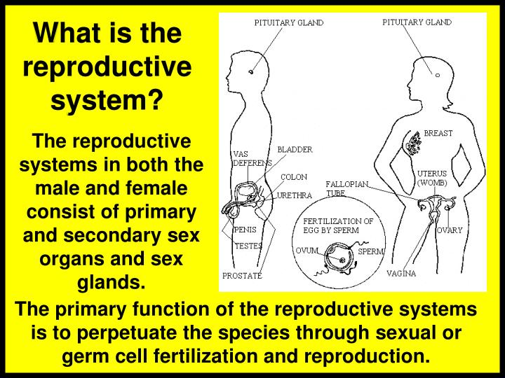 What is the reproductive system?