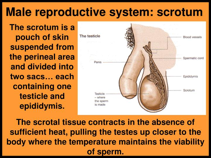 Male reproductive system: scrotum