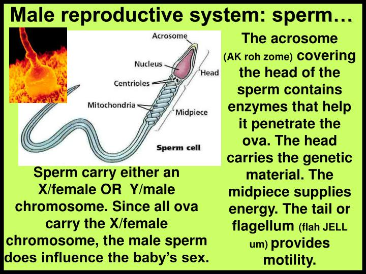 Male reproductive system: sperm…