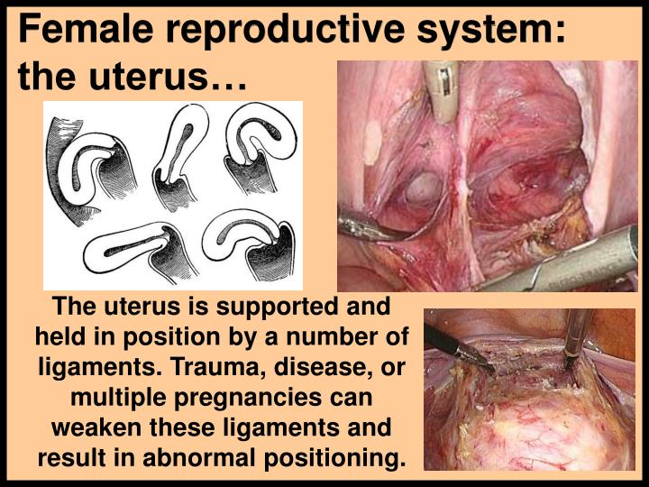 Female reproductive system:  the uterus…