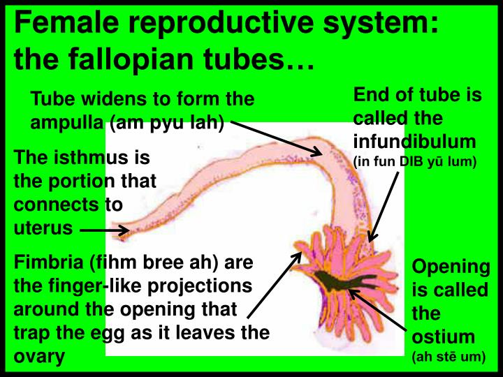 Female reproductive system:  the fallopian tubes…