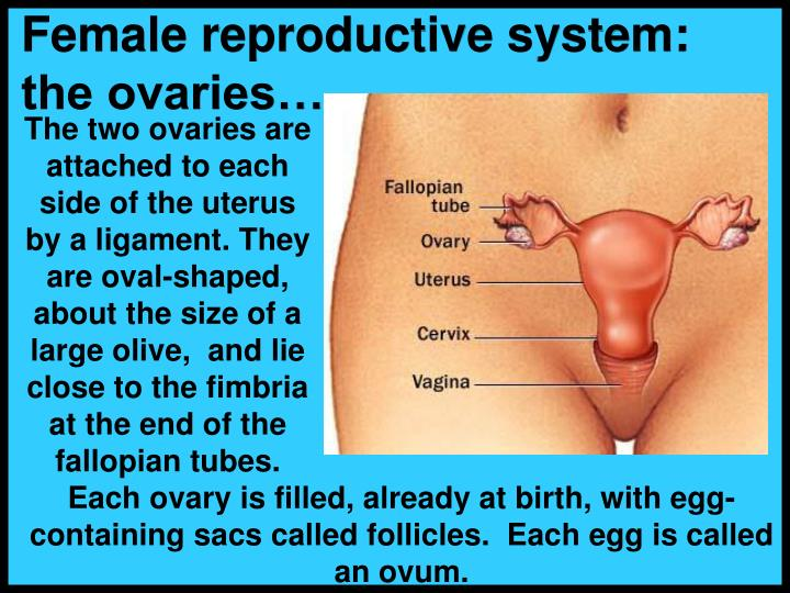 Female reproductive system:  the ovaries…