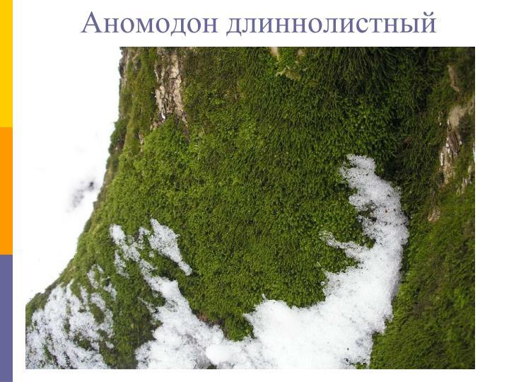 Аномодон длиннолистный