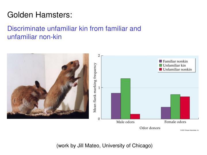 Golden Hamsters: