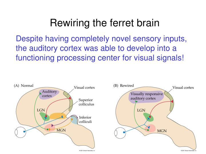 Rewiring the ferret brain