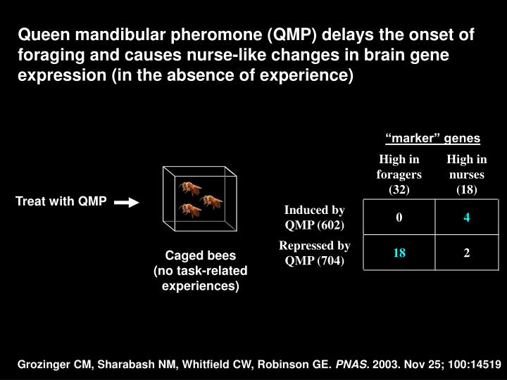 Queen mandibular pheromone (QMP) delays the onset of foraging and causes nurse-like changes in brain gene expression (in the absence of experience)