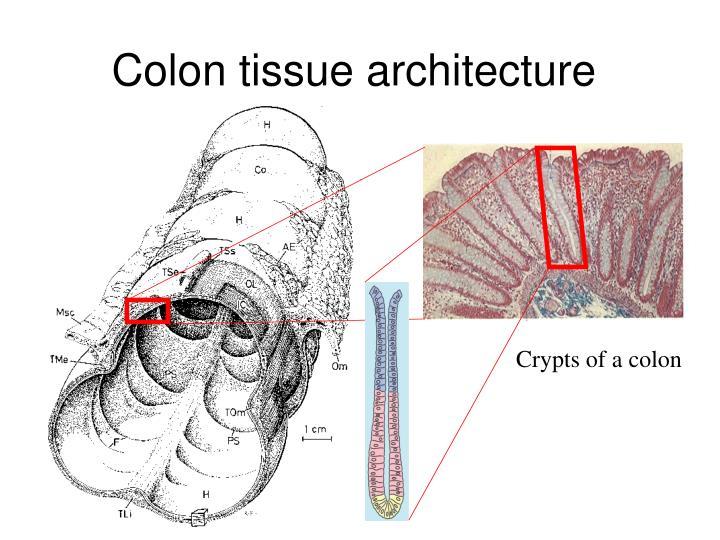 Colon tissue architecture