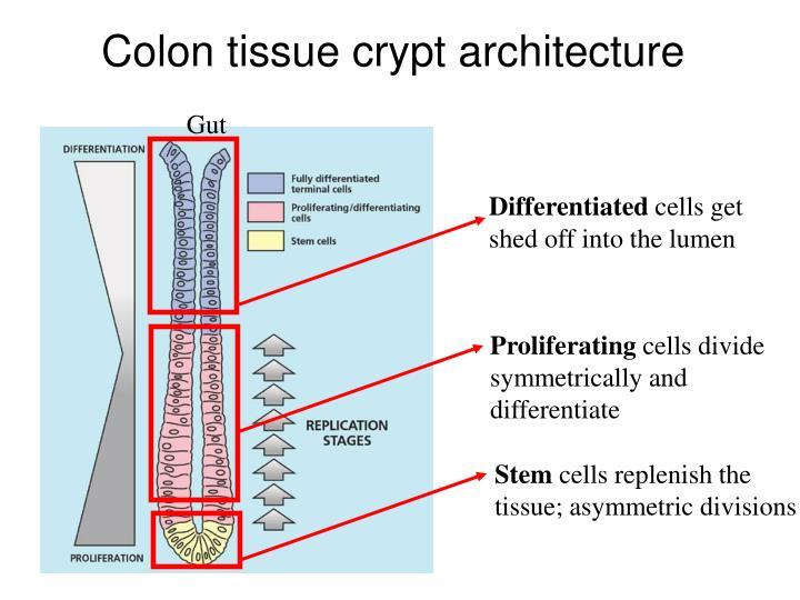 Colon tissue crypt architecture