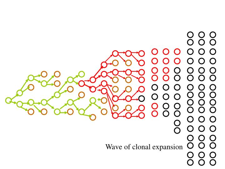 Wave of clonal expansion