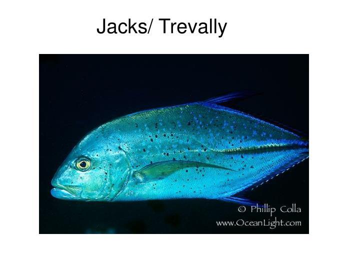 Jacks/ Trevally