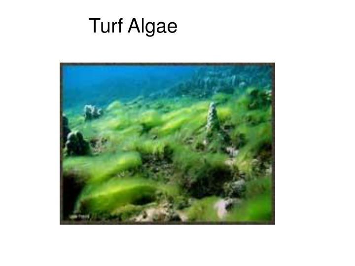 Turf Algae