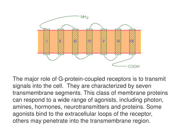 The major role of G-protein-coupled receptors is to transmit signals into the cell.  They are characterized by seven transmembrane segments. This class of membrane proteins can respond to a wide range of agonists, including photon, amines, hormones, neurotransmitters and proteins. Some agonists bind to the extracellular loops of the receptor, others may penetrate into the transmembrane region.