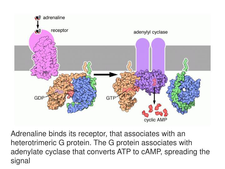 Adrenaline binds its receptor, that associates with an heterotrimeric G protein. The G protein associates with adenylate cyclase that converts ATP to cAMP, spreading the signal