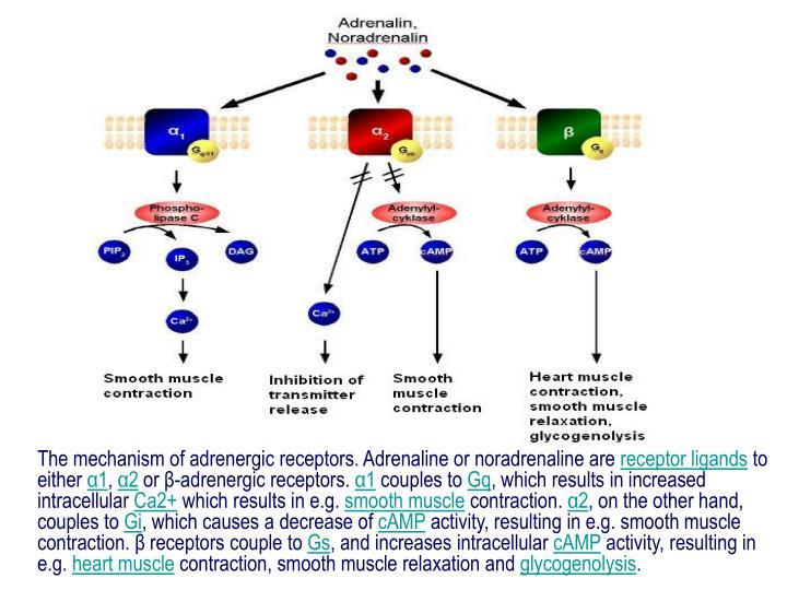 The mechanism of adrenergic receptors. Adrenaline or noradrenaline are