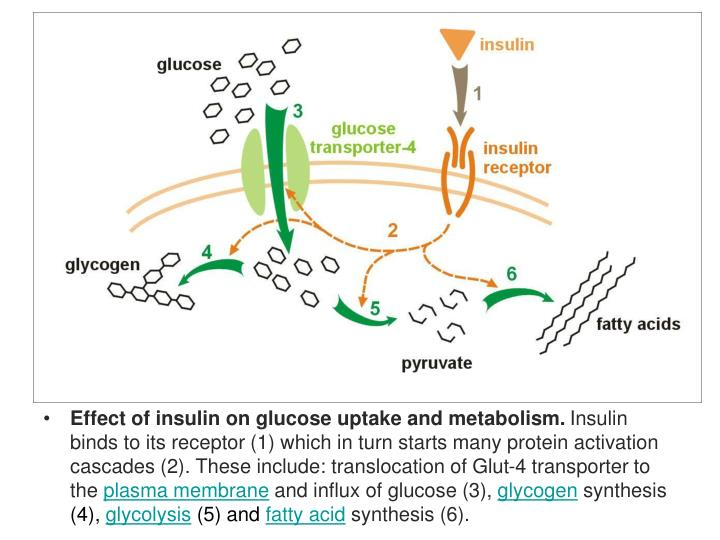 Effect of insulin on glucose uptake and metabolism.