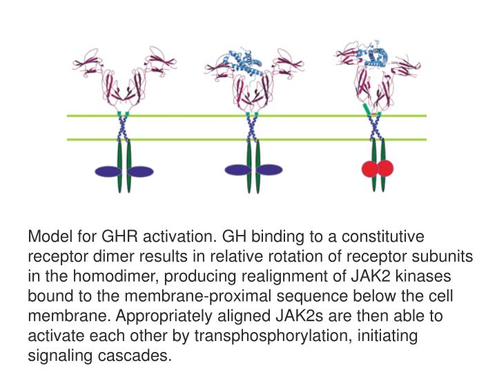 Model for GHR activation. GH binding to a constitutive receptor dimer results in relative rotation of receptor subunits in the homodimer, producing realignment of JAK2 kinases bound to the membrane-proximal sequence below the cell membrane. Appropriately aligned JAK2s are then able to activate each other by transphosphorylation, initiating signaling cascades.