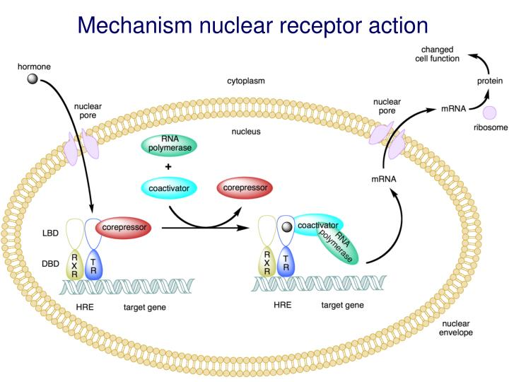 Mechanism nuclear receptor action