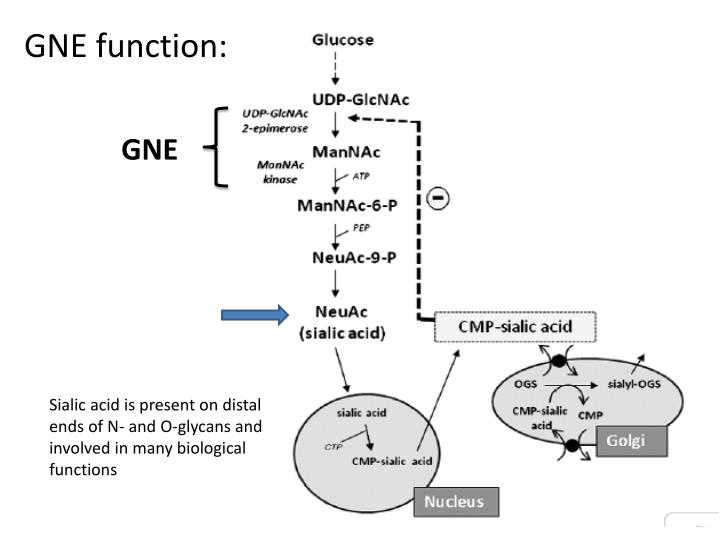 GNE function: