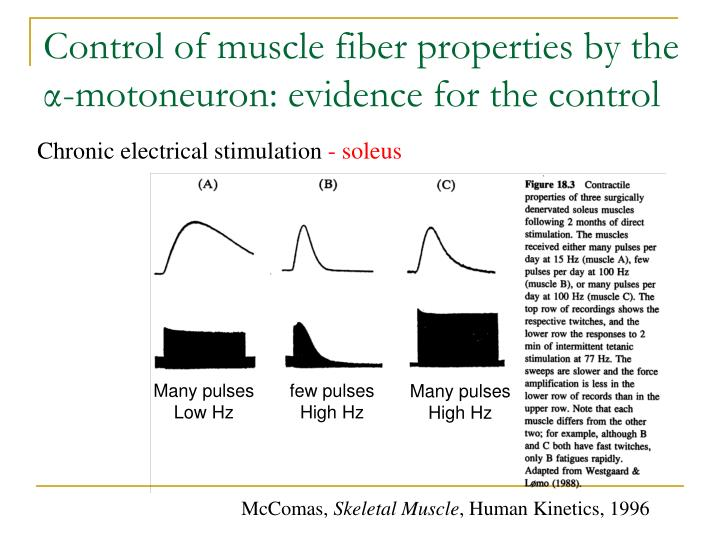 Control of muscle fiber properties by the