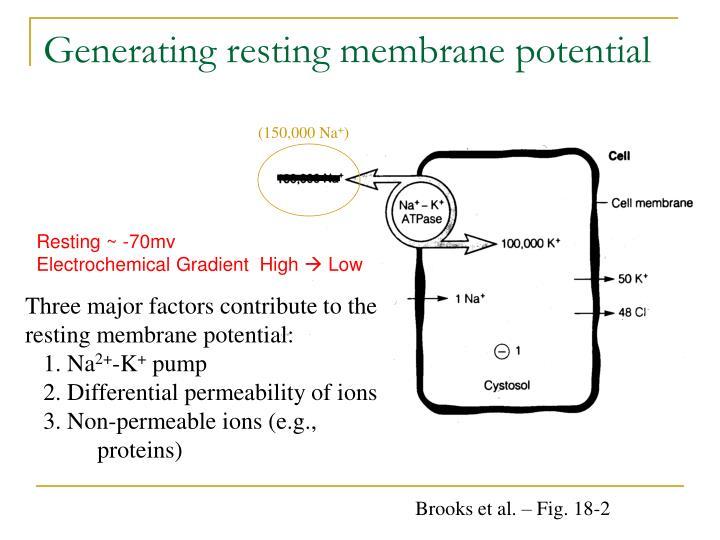 Generating resting membrane potential