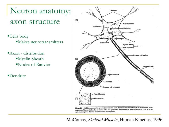 Neuron anatomy:
