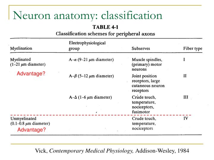 Neuron anatomy: classification