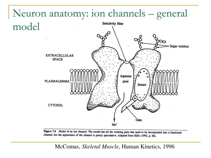 Neuron anatomy: ion channels – general model