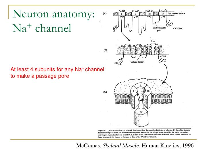 Neuron anatomy: Na