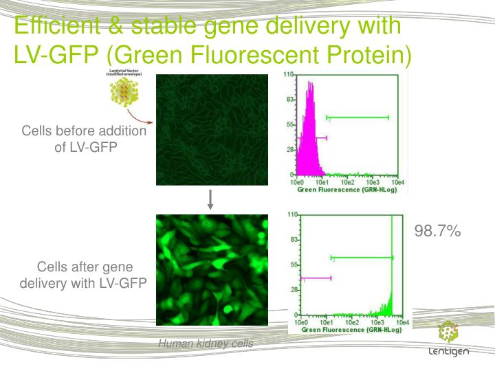 Efficient & stable gene delivery with LV-GFP (Green Fluorescent Protein)
