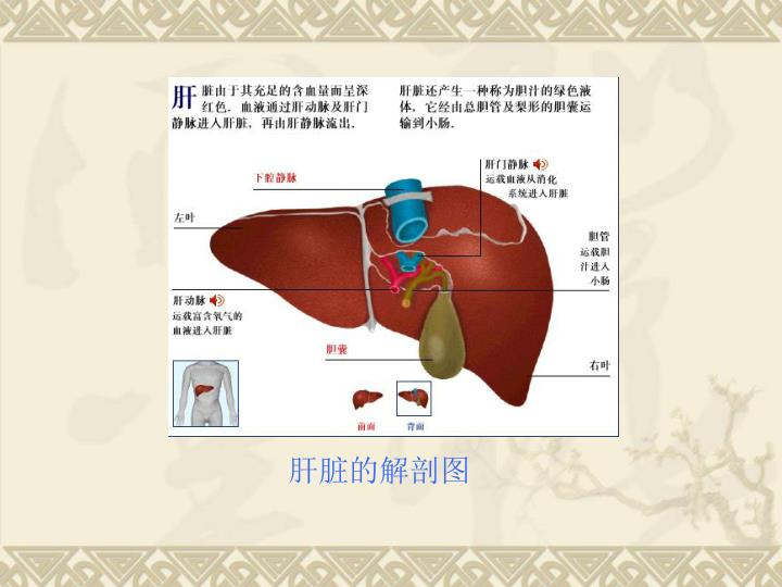 肝脏的解剖图