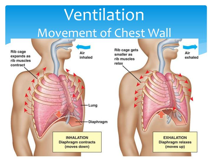 Ventilation movement of chest wall