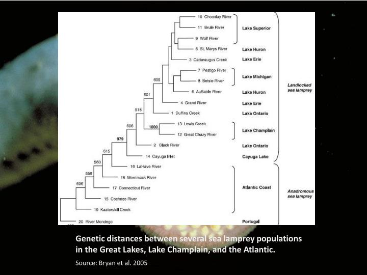 Genetic distances between several sea lamprey populations in the Great Lakes, Lake Champlain, and the Atlantic.