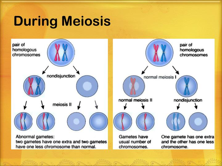 During Meiosis