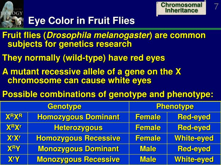 Eye Color in Fruit Flies