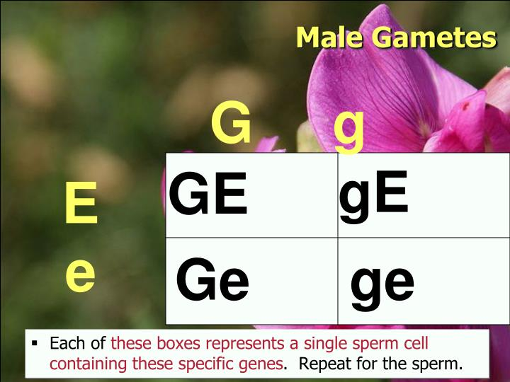 Male Gametes