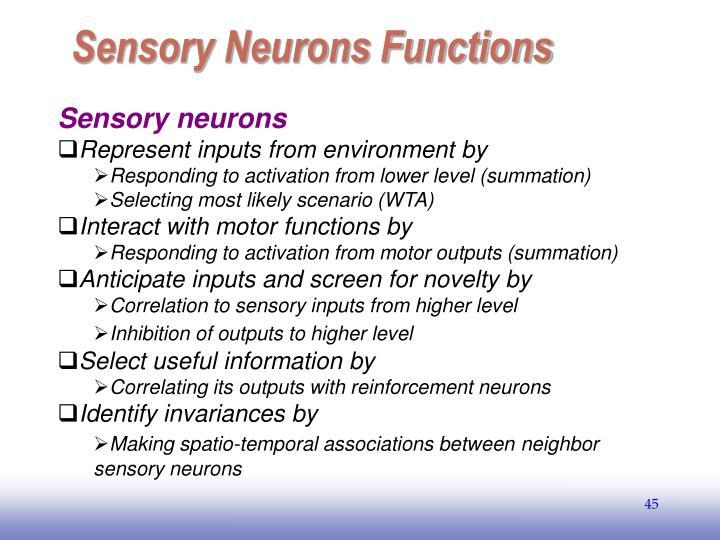 Sensory Neurons Functions