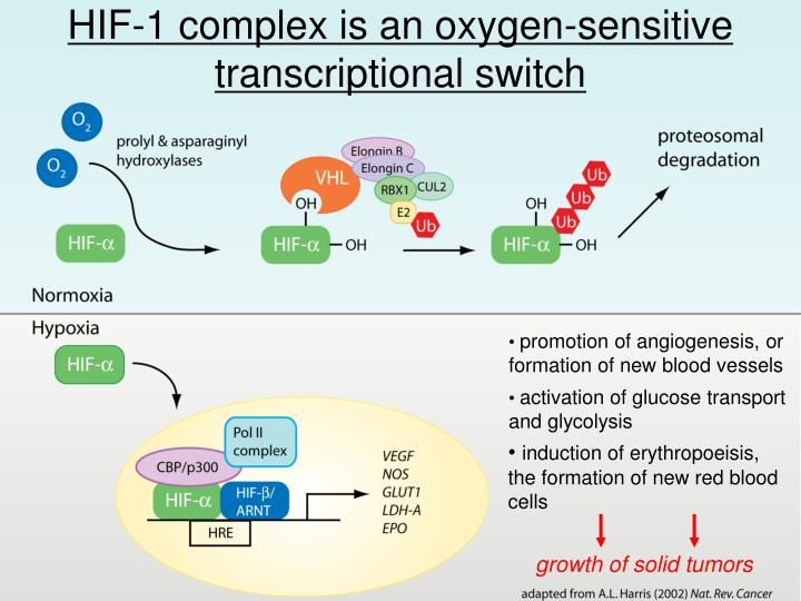 HIF-1 complex is an oxygen-sensitive transcriptional switch