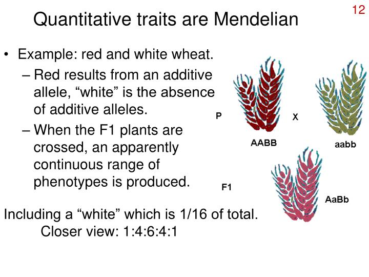 Quantitative traits are Mendelian