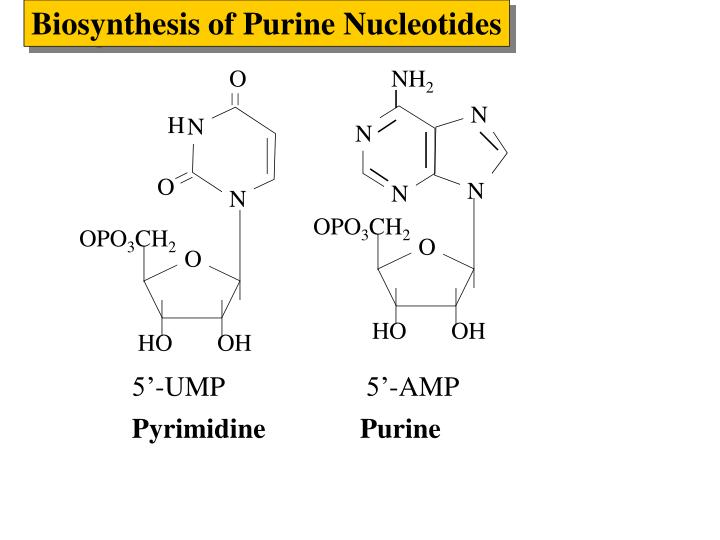 Biosynthesis of Purine Nucleotides