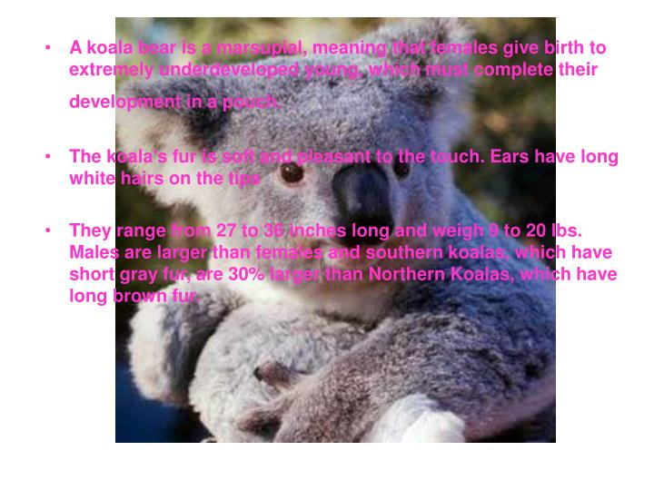 A koala bear is a marsupial, meaning that females give birth to extremely underdeveloped young, whic...