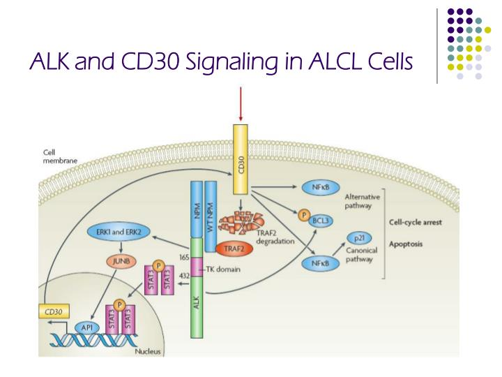 ALK and CD30 Signaling in ALCL Cells