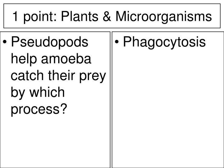 Pseudopods help amoeba catch their prey by which process?