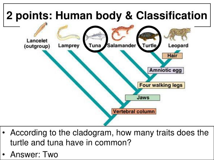 According to the cladogram, how many traits does the turtle and tuna have in common?
