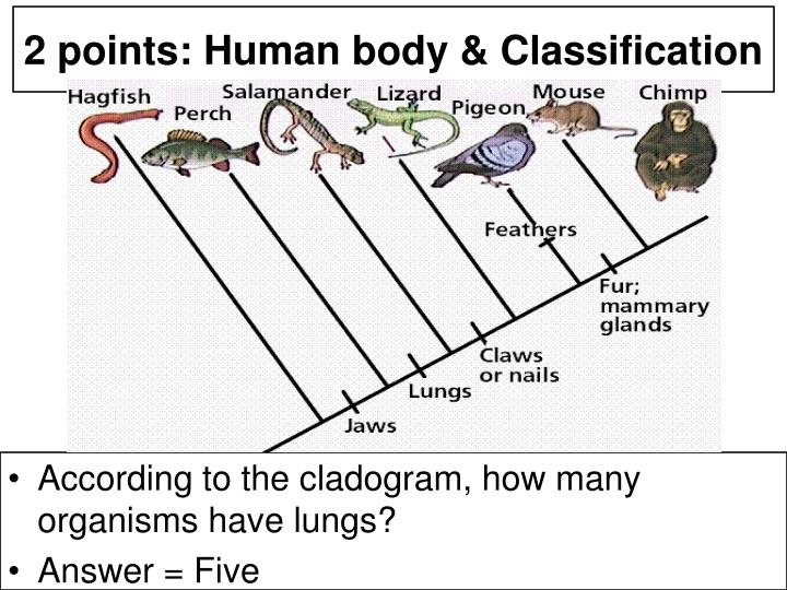 According to the cladogram, how many organisms have lungs?