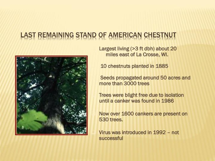 Last remaining stand of American Chestnut