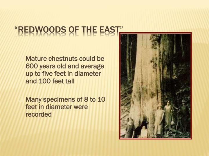 """Redwoods of the East"""