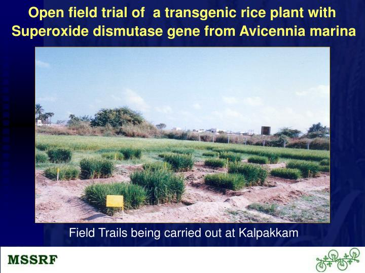 Open field trial of  a transgenic rice plant with