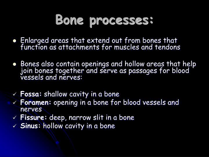Bone processes:
